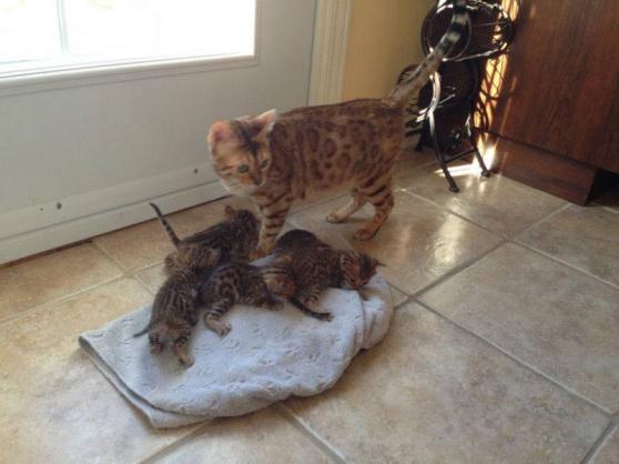 Annonce occasion, vente ou achat 'chaton pour adoption . Race: savannah'