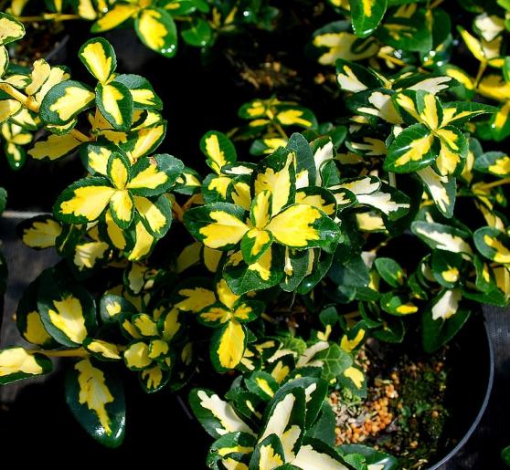 Arbuste persistant fusain sunspot