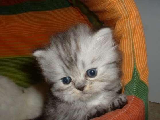 A Réserver 3 magnifiques chatons persans
