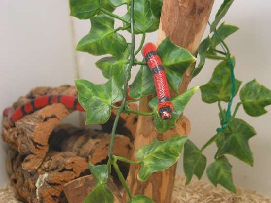 Serpent lampropeltis getulus (serpent ro - Photo 2