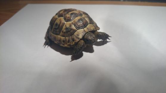 vend tortue grecque