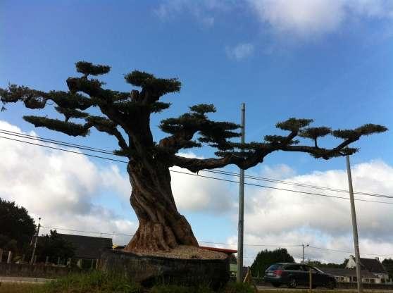Vente d 39 olivier centenaire vannes jardin nature divers jardins vann - Acheter olivier centenaire ...