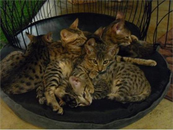 Portée de 4 splendide chaton Bengal