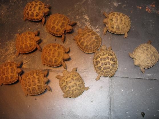 Annonce occasion, vente ou achat 'Vends des tortues de terre'