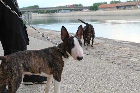 Inuk Bull terrier de 8 mois