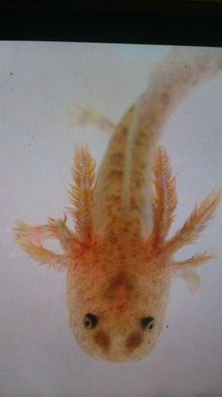 Axolotl copper