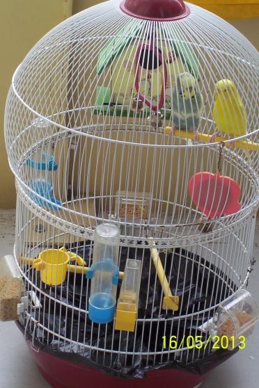 vends couple perruche ondul e cage le pecq animaux. Black Bedroom Furniture Sets. Home Design Ideas
