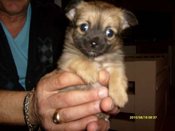 SUPERBE CHIOT FEMELLE CHIHUAHUA