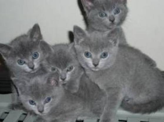 Magnifiques chatons chartreux Loof - Marche.fr