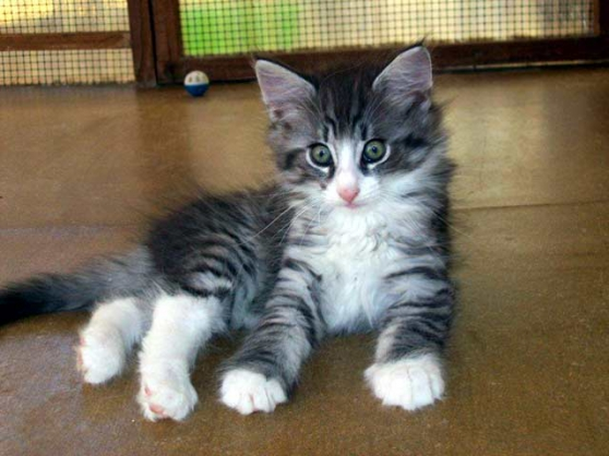 Chatons Norvegiens Loof A Reserver Marche Fr