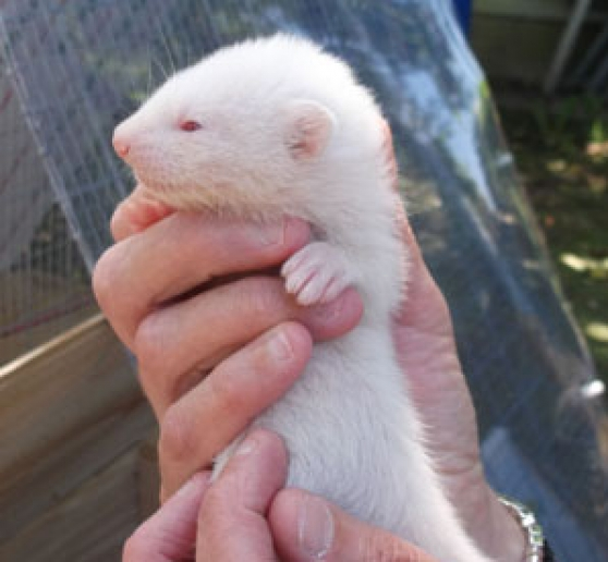 Annonce occasion, vente ou achat 'Furets albinos à vendre'