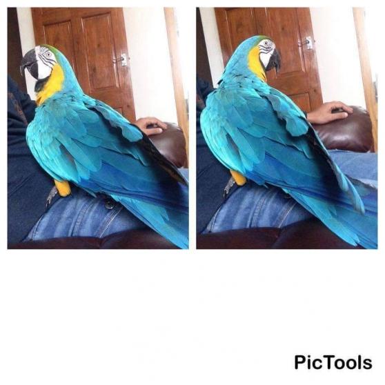 Annonce occasion, vente ou achat 'perroquet ara bleu et d'or'