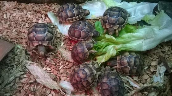 bébé tortue grec