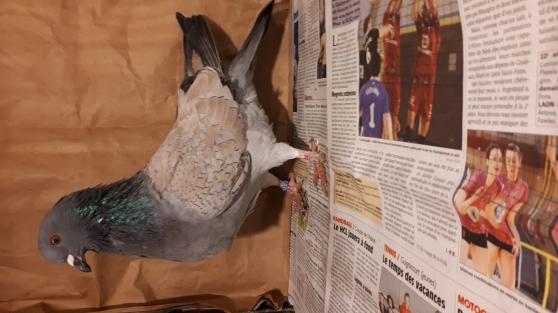pigeons Cauchois