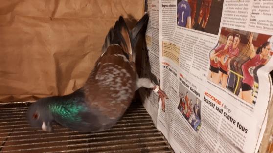 pigeons Cauchois - Photo 2