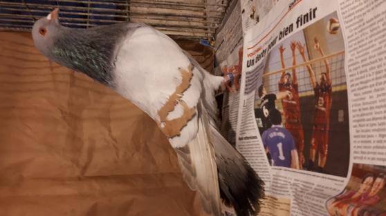 pigeons Cauchois - Photo 3