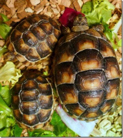 Annonce occasion, vente ou achat 'Jeunes tortues de terre'
