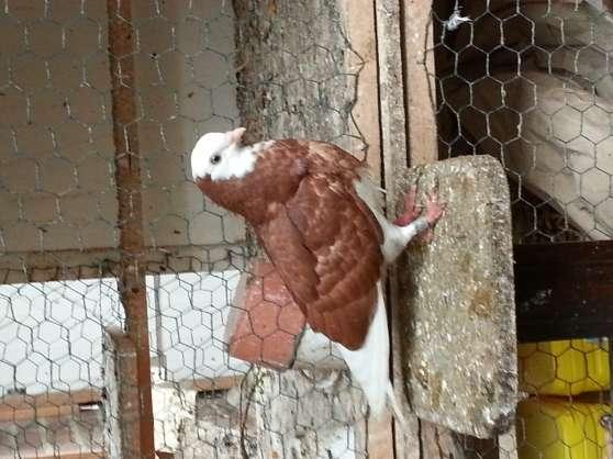 pigeons culbutants galatis