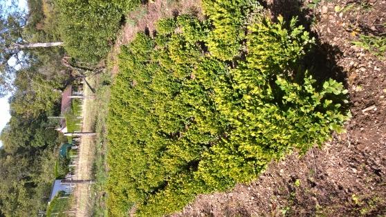 PLANTS DE BUIS COMMUN EN MOTTES