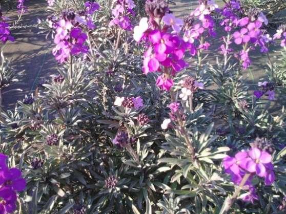 Lot Graines Giroflée Violette Plante Bio
