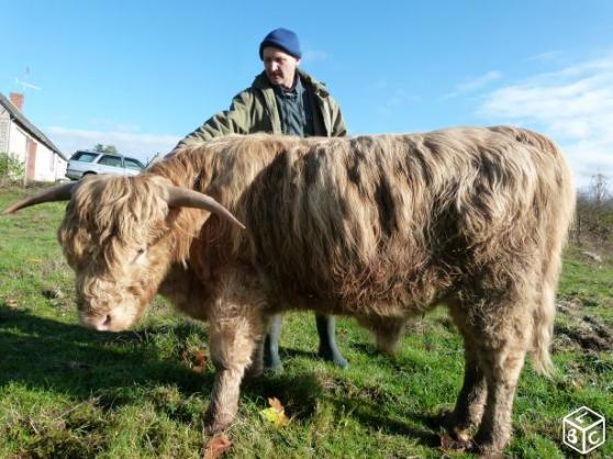 Highland Cattle (Taureau)