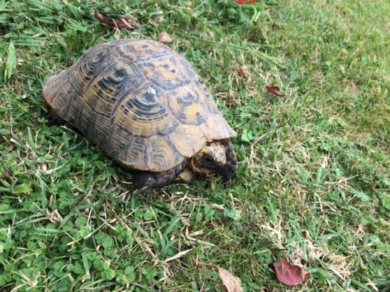 Annonce occasion, vente ou achat 'tortue de terre male'