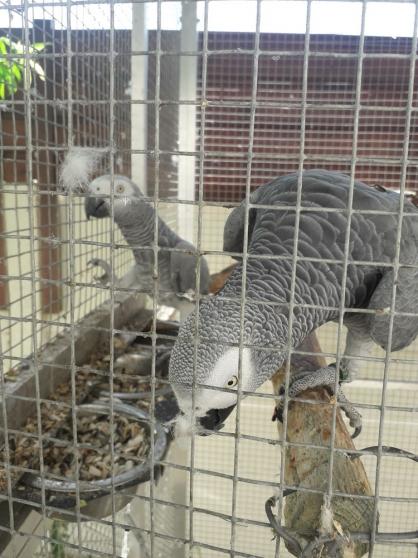 2 couples de gris du gabon - Photo 2