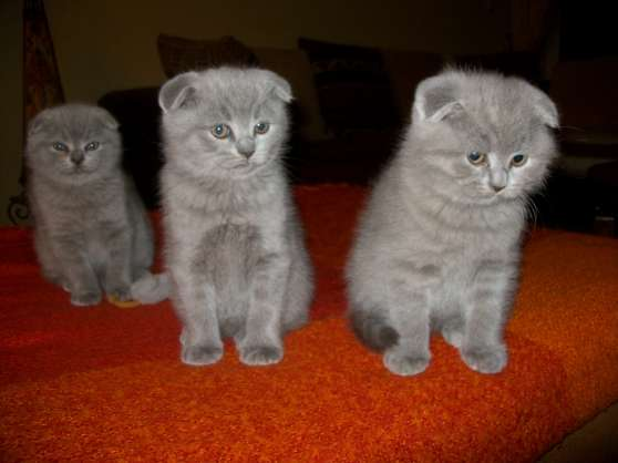 chatons scottish fold L.O.O.F.
