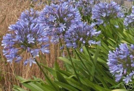 Graines Agapanthes Bleues Plante Fleur