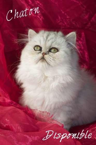 vol de chaton femelle persan silver