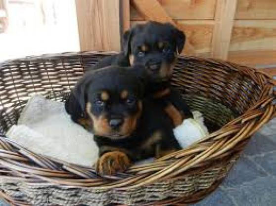 Annonce occasion, vente ou achat 'Chiots rottweiler inscrits au lof'