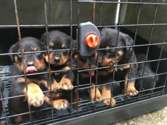 Annonce occasion, vente ou achat 'Adorables Chiots rottweiler'