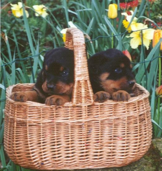 Annonce occasion, vente ou achat 'Magnifiques Chiots rottweiler'