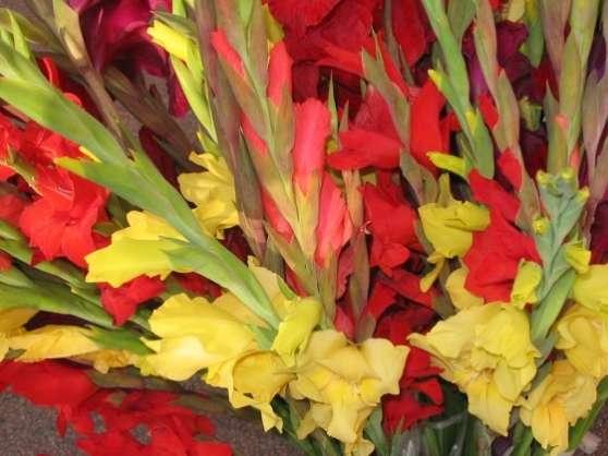 Lot Bulbes Glaïeul Varié Fleur Décoratif