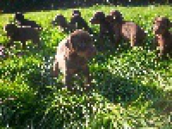 Chiots type dobermann lof