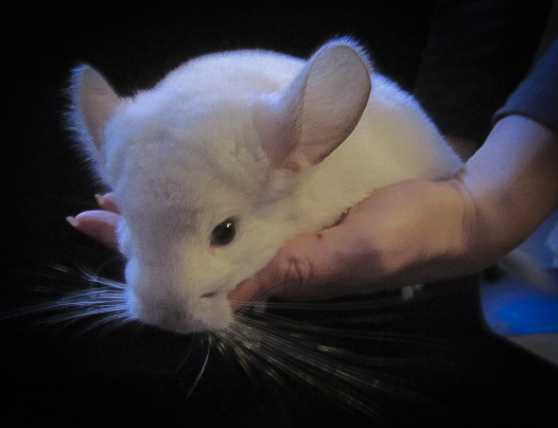 jeunes chinchillas - Photo 2