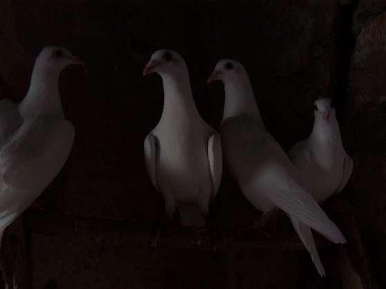 Pigeons Voyageurs Blancs