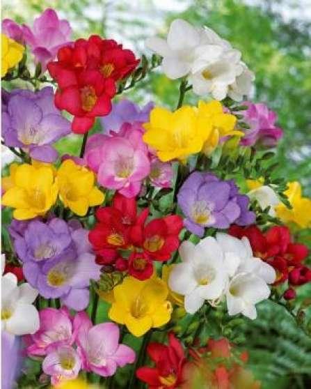 Lot Bulbes Freesias Simple Fleur Jardin