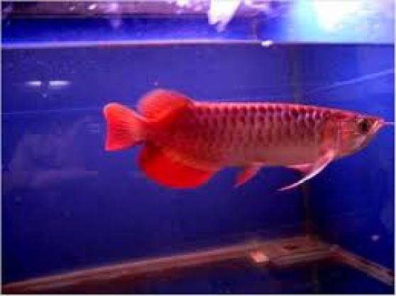 De bonne qualit super arowana rouge et animaux poissons for Achat poisson rouge paris 18