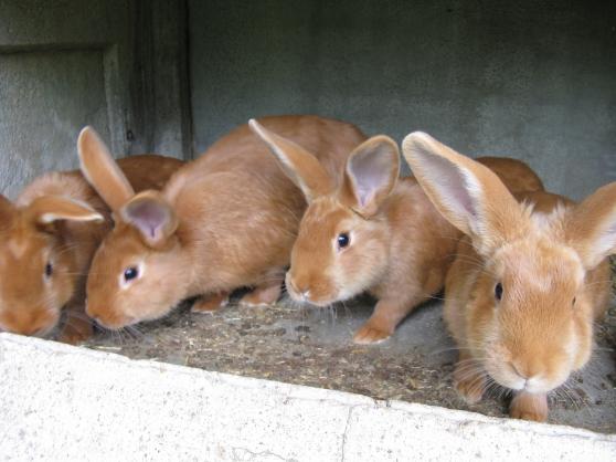 lapins fauve de bourgogne