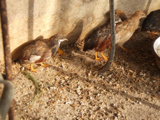 oiseaux de voliere