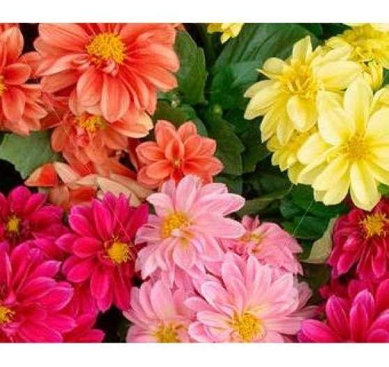 Bulbes Rhizome DALHIA Varié Fleur Livré