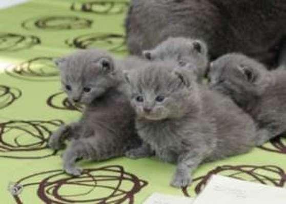 """A """"réserver"""" Adorables chatons chartreux"""