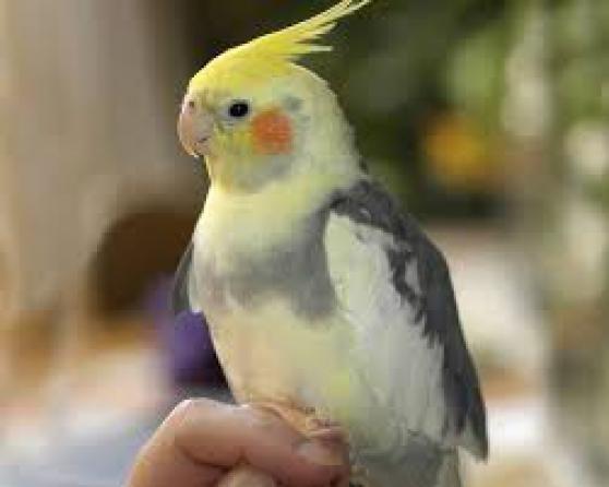 perroquets et autres oiseaux vendre animaux oiseaux la chapelle rousselin reference ani. Black Bedroom Furniture Sets. Home Design Ideas