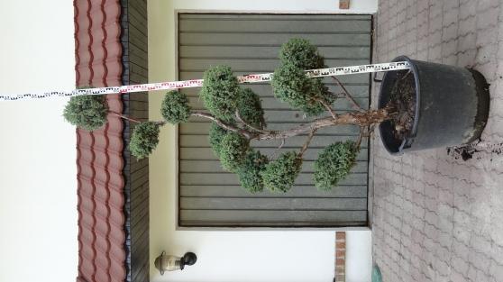 Arbre taill en nuage niwaki bonsa jardin nature plantes st antoine la - Arbre taille en nuage vente ...