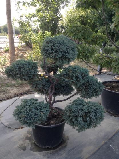 arbre taill en nuage niwaki bonsa 2 jardin nature plantes st antoine la for t reference. Black Bedroom Furniture Sets. Home Design Ideas