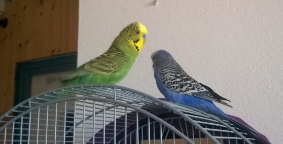 Annonce occasion, vente ou achat 'Couple perruches ondulées avec cage etc'