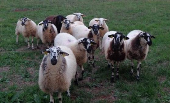très bonnes agneaux et agnelles de l'an