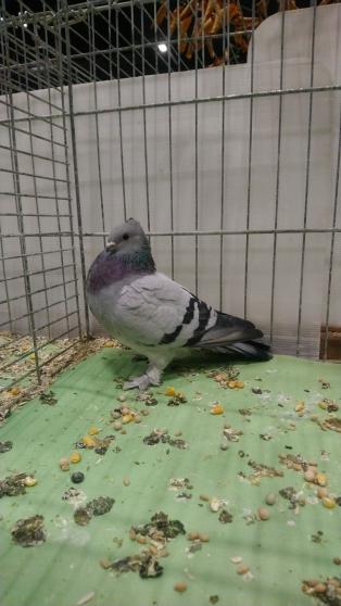 PIGEON / TOURTERELLE - Photo 4