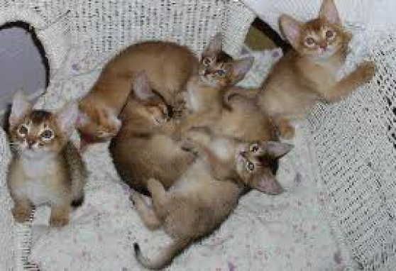 chatons type abyssins cherche foyer